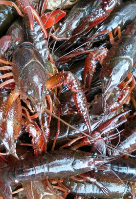 洪泽湖龙虾