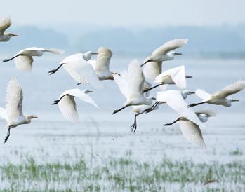 湿地观鸟节(十一月中旬到二月中旬)