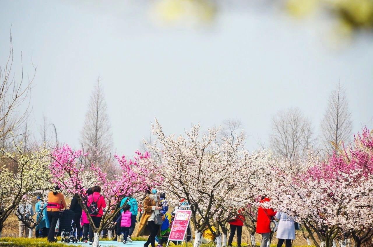 2019洪泽湖湿地第四届梅花节盛大开幕 引八方游客来赏