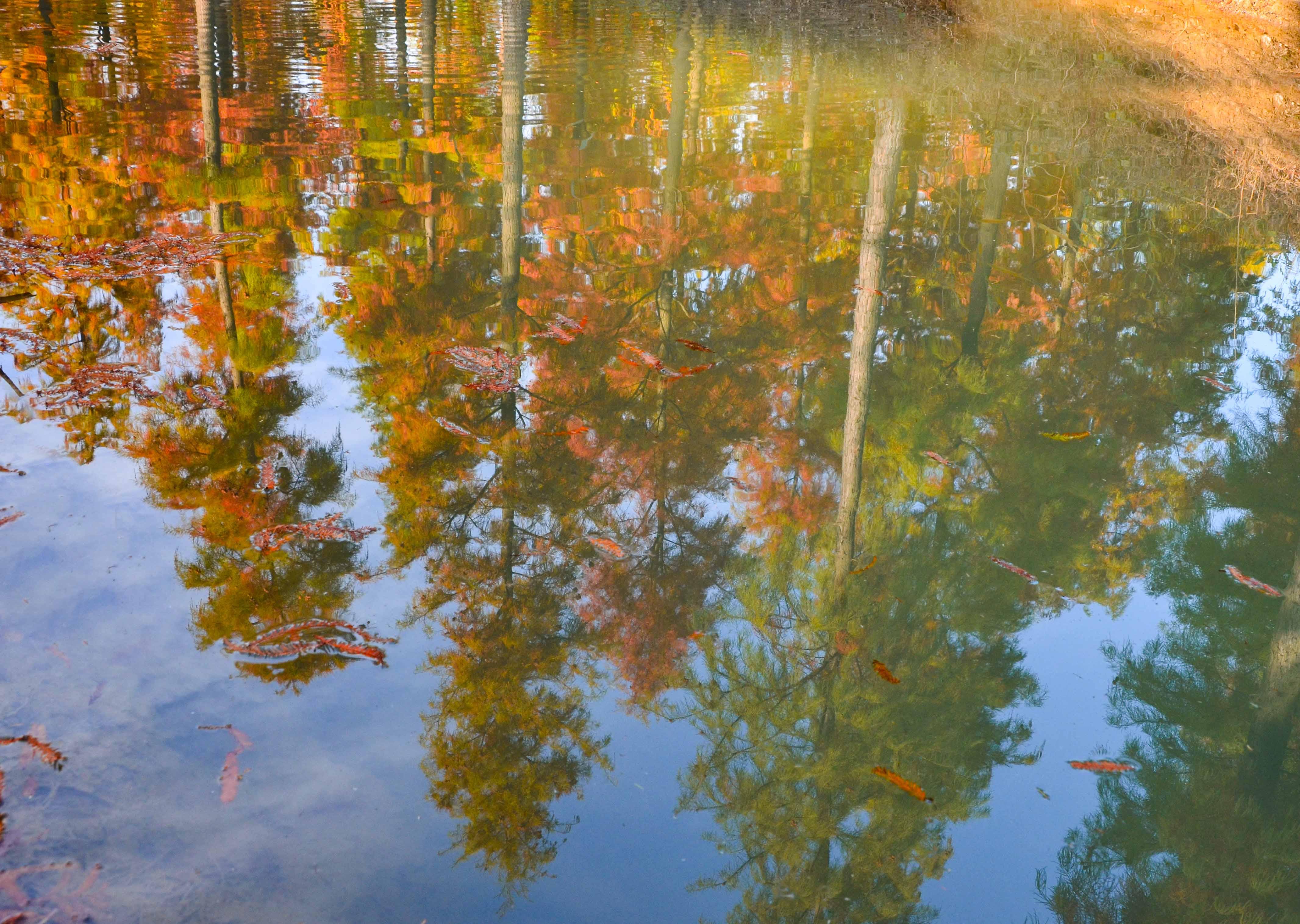 洪泽湖湿地的水杉林红了