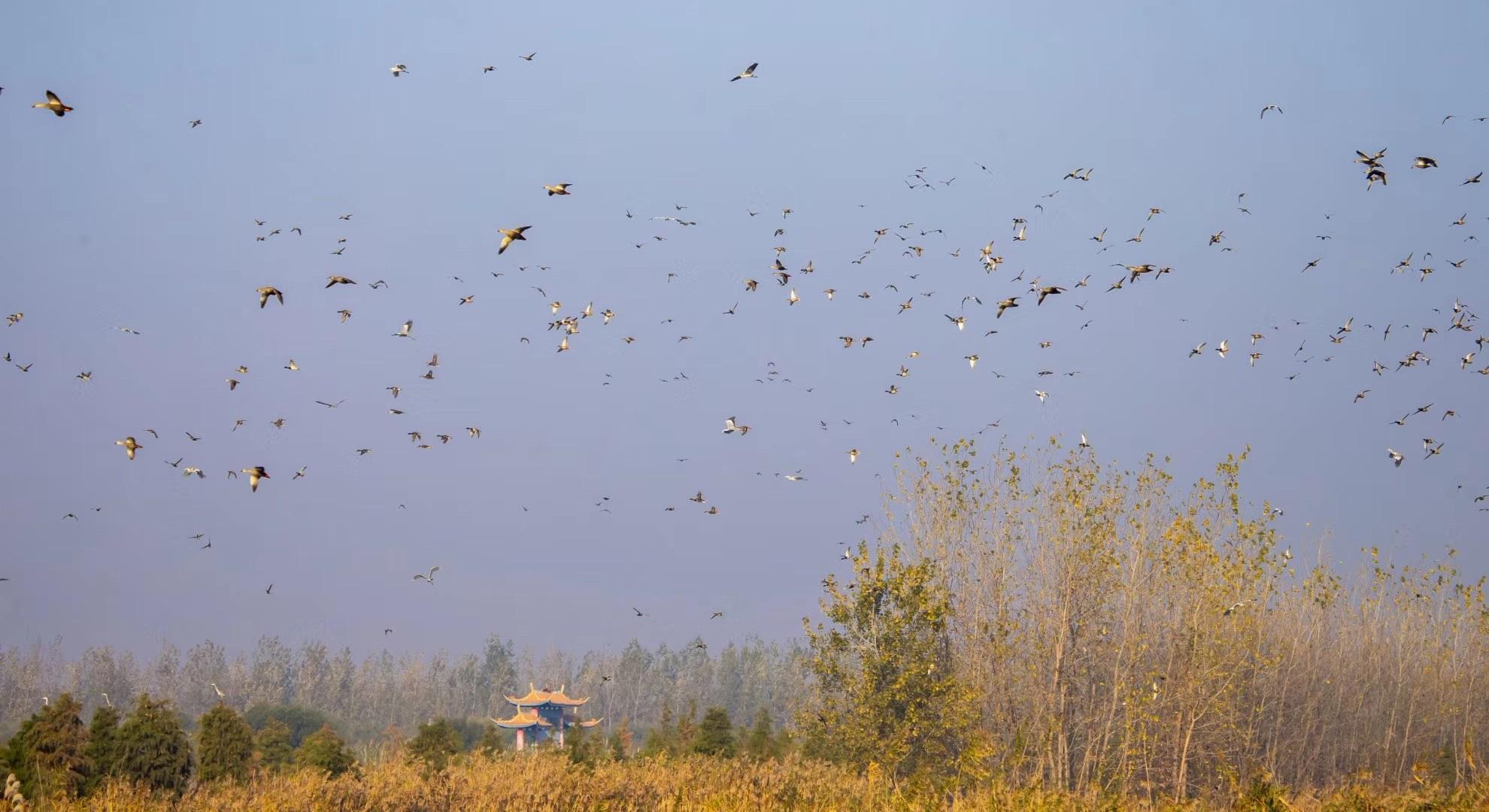 大批迁徙候鸟飞抵洪泽湖湿地,景象壮观!
